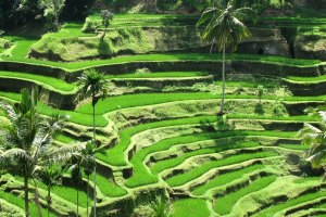 Ceking Rice Terrace Tegalalang